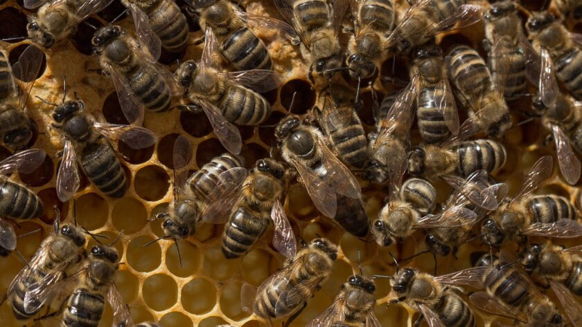 abeille noir de Provence