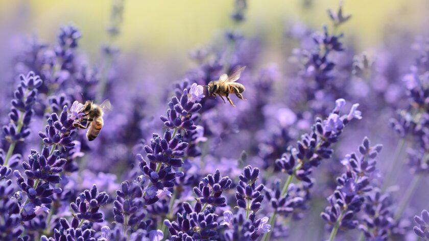 La lavande est cultivée sur des milliers d'hectare en Provence