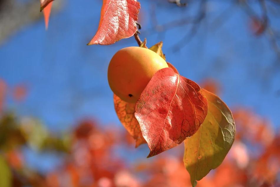 Abricot sur un abricotier en fin de saison
